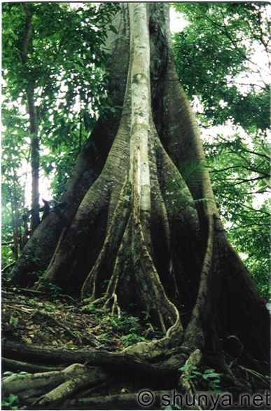 external image amazonas-tree-trunk.jpg