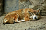 Tibetanischer Wolf (canis lupus laniger)