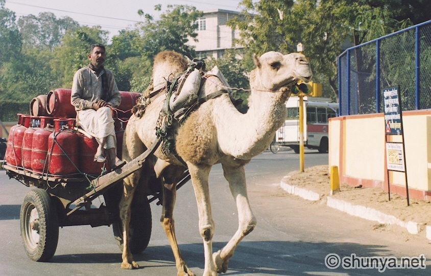 Animals Pulling Wagon : Topic camels for pulling carts and plows draft animal power